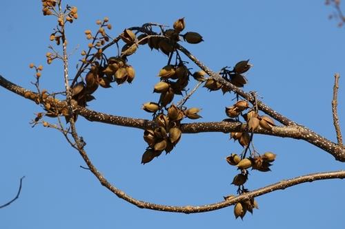 キリの実と花芽.JPG