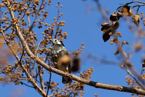 キリの木のムクドリ2.JPG